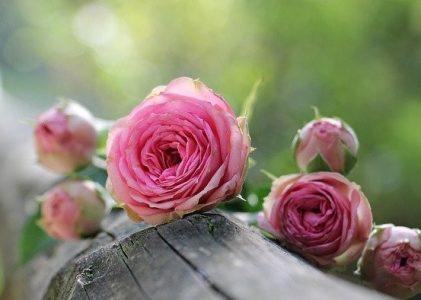 A Rheumatologist and a Rose